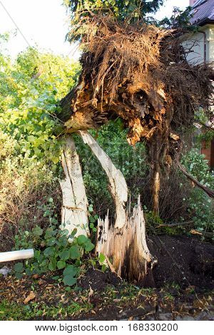 Uprooted Tree After Storm