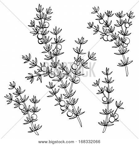 Juniper graphic black white isolated sketch illustration vector