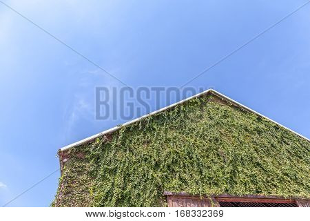 Top of a gabled roof on a wooden barn and green climbing plant on exterior wall with clear blue sky on background.