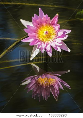 A Pink Waterlily and Reflection in the pond