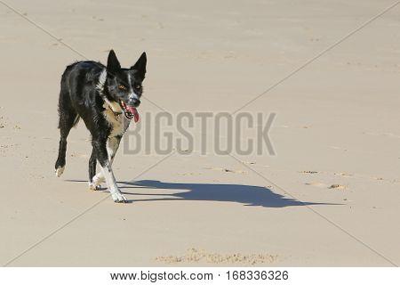 A Border Collie dog running on the sandy beach
