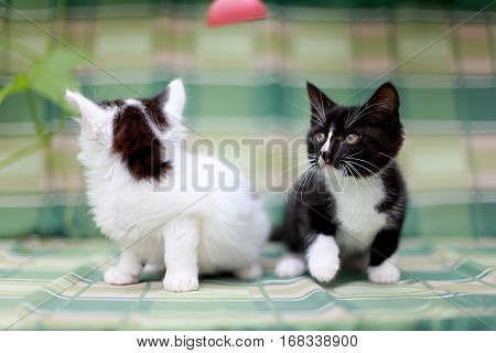 Two kittens sitting side by side on a green background
