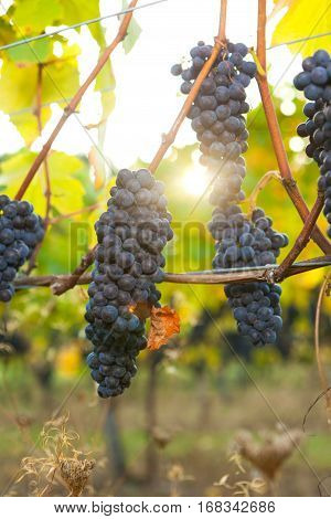 Backlit bunches of Pinot Noir wine grapes hanging from the vine