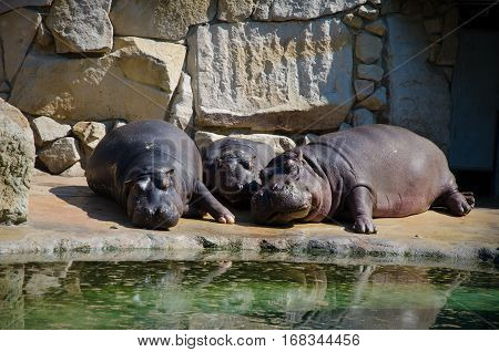 three Hippos sleeping near water in the zoo