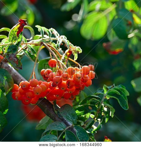 Fruits of mountain ash on bright sunny day in the forest.
