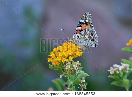 Monarch butterfly sitting on a yellow flower