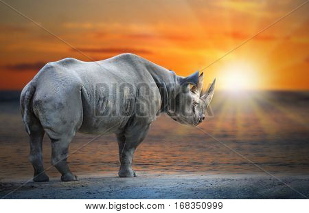 Last White Rhinoceros Ceratotherium simum cottoni standing on the beach against sunset. Saving big african animals. Ecology and environment in Africa.
