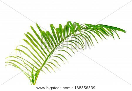 Green leaf of palm tree isolated on white background with clipping path