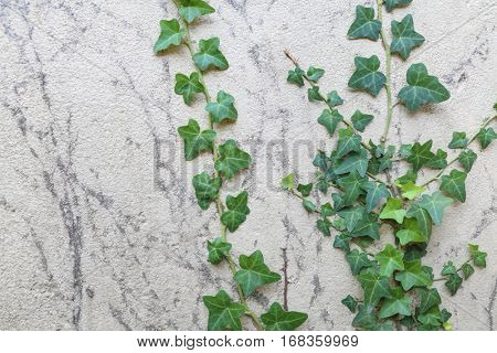 Ivy - creeping, asylum support, with dark lobed leaves and brush of adventitious roots beneath them, growing in shade