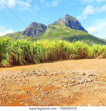 Scenic landscape with fields of sugar cane in mountains on Mauritius Island. It is one part of The Mascarene Islands.  Agriculture and environment in tropical climate.