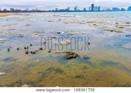 A shot of ducks swimming in chilly waters of Lake Michigan on one of Chciago's shores with some of the taller buildings in the background.