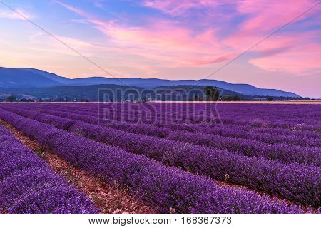 Beautiful Landscape Of Lavender Fields At Sunset Near Sault