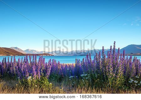 Landscape View Of Blooming Flowers And Lake Tekapo Mountains, Nz