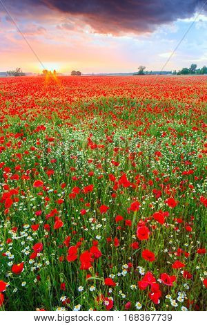 Poppies Field At Sunset In Summer