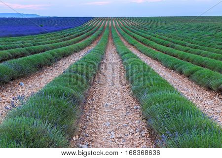 Lavender field harvest near Valensole. Provence. France