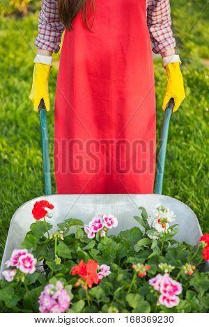 Gardener with flowers in wheelbarrow working in yard