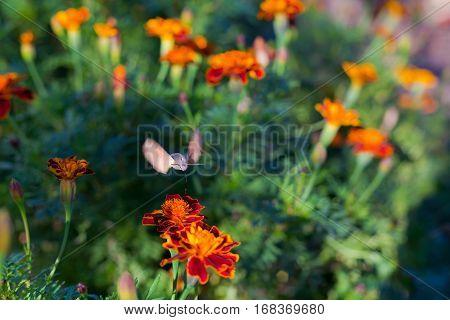 Sphingidae, known as bee Hawk-moth, Hummingbird moth