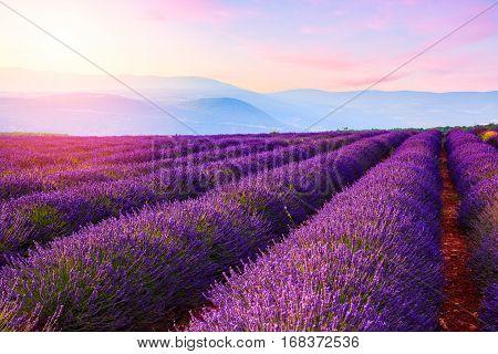 Lavender field summer landscape near Sault.Provence. France