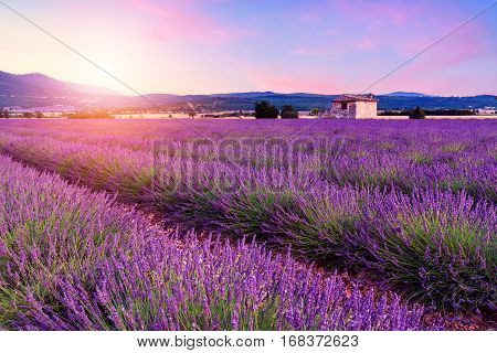 Lavender Field Summer Sunset Landscape Near Sault