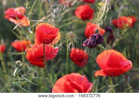 Wilted poppy on the field. Poppies in the field