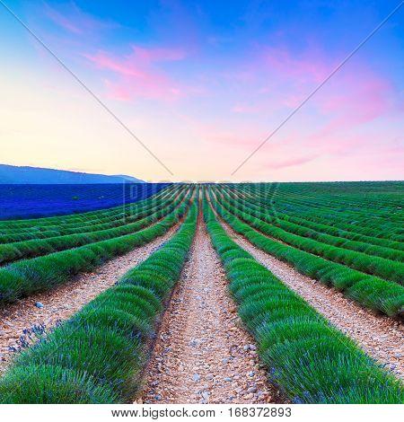 Lavender field harvest near Valensole, Provance. France