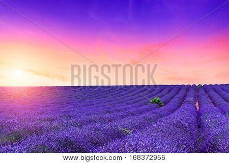 Lavender Bushes In Long Lines
