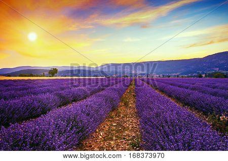 Lavender field summer sunset landscape with single tree near Sault..ProvenceFrance