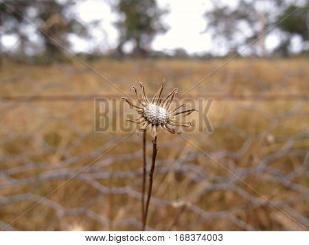 Dead daisy wild flower in Australian bush outback paddock near wire fence