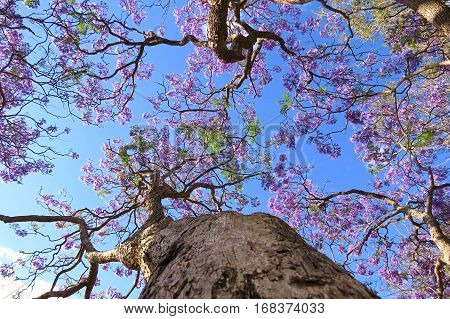 Looking up! Purple Jacaranda tree in bloom against a blue Australian sky