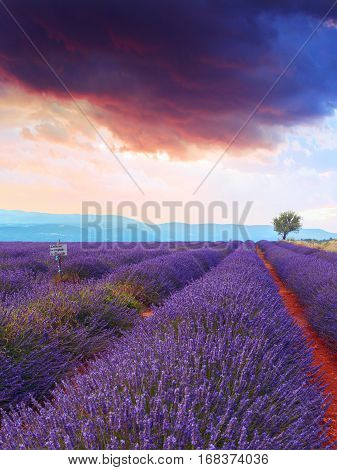 Lavender Field Summer Sunset