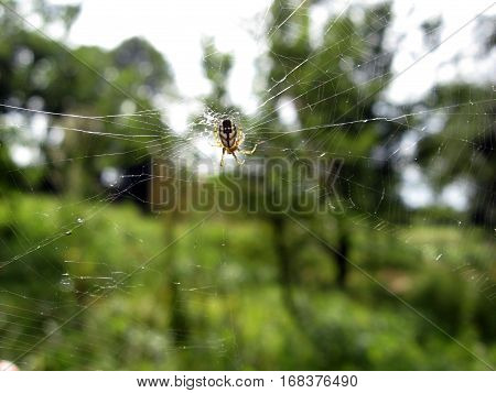 Spider waiting for its prey on a clear day