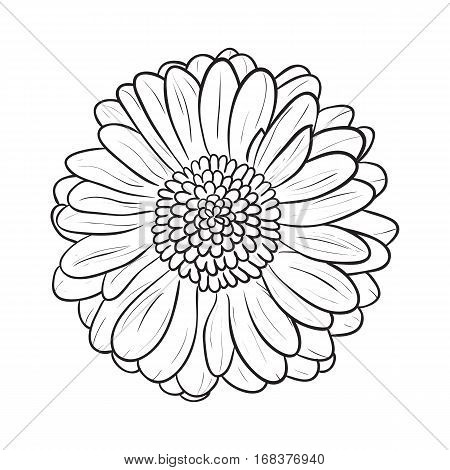 Chamomile Gerbera flower for design, Vector illustration