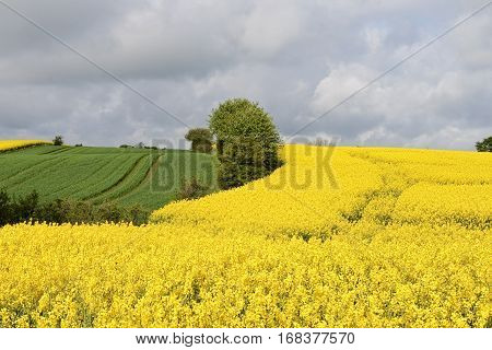 Rape seed field and cornfield on an overcast day