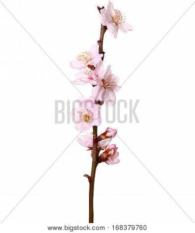 Studio Shot Of Apricot Blossom Brunch Isolated On White