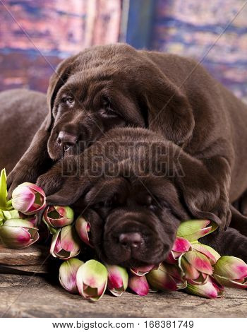 Labrador puppies sleeping in flowers tulips
