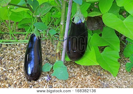 Aubergines (Solanum melongena) on the plant in the garden