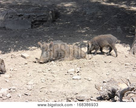 The photo of wild boars in a zoo