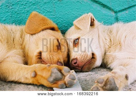 red mongrel puppies sleeping on the road.