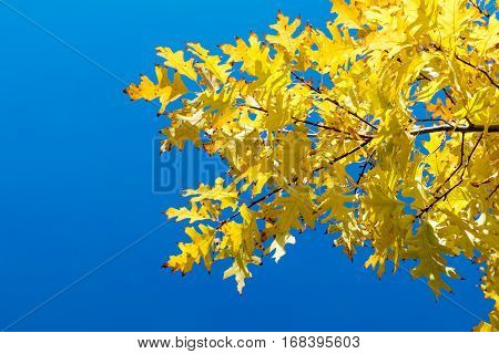 Autumn Yellow Leaves On Blue Sky Background