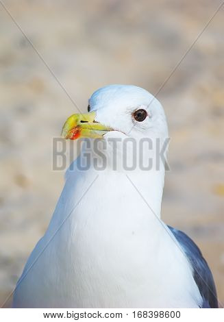 seagull portrait. seagull on beach. Seagull on the sand