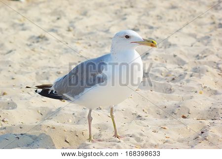 seagull on beach. Seagull on the sand