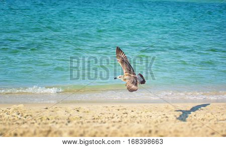 seagull flying on beach. Fly seagull. Seagull and sea