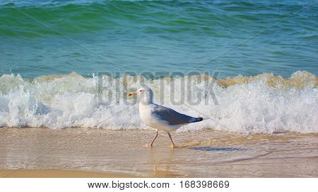 seagull on the beach. Seagull and sea