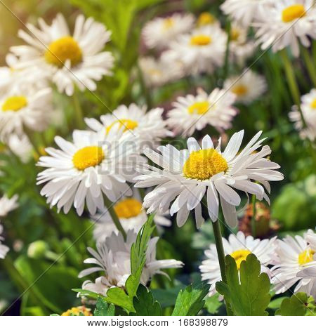 Blooming chamomile. beautiful Flowering blooming Chamomile flowers