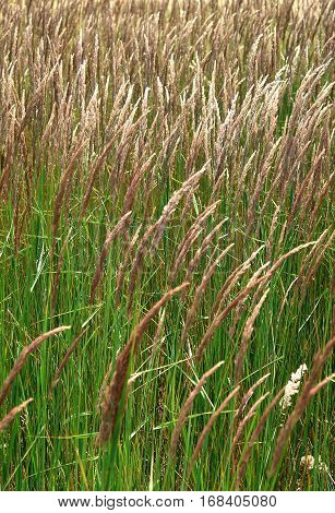 Spikes of grassy plant in the meadow in autumn. Image with local focus