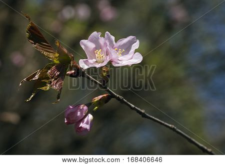 Sakura branch with flowers against blurred background