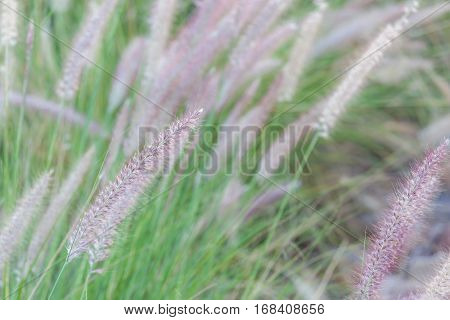 Mission grass (Feather Pennisetum) swaying in natural field in blurred focus in the background.