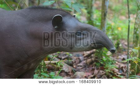 Profile view of Amazon Tapir with jungle background. Common names: Tapir, Danta. Scientific name: Tapirus terrestris