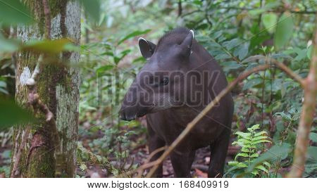 Front view of Amazon Tapir with jungle background. Common names: Tapir, Danta. Scientific name: Tapirus terrestris