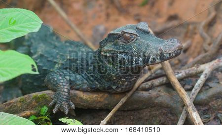 Narrow-snouted Spectacled Caiman, Focus on the head. Common names: Caiman de anteojos. Scientific name: Paleosuchus trigonatus